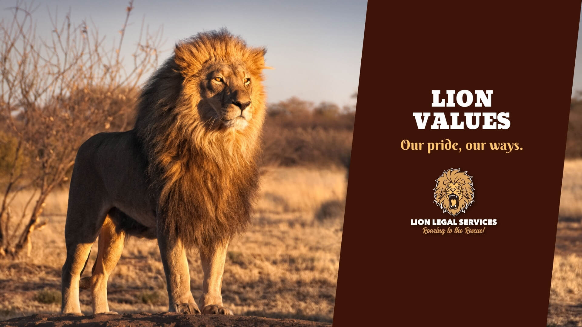 """Photo of a lion to illustrate the article """"What are Lion Values?"""""""